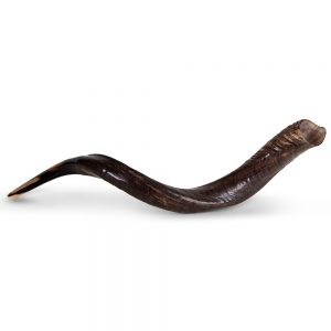 Extra Large Yemenite Shofars